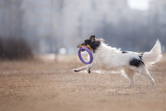 Dog catching flying disk Stock Photos