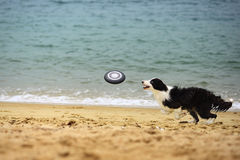 Dog Catching Frisbee Stock Photos