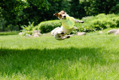 Dog catching frisbee at a high jump. Jack Russell Terrier playing with green disk Royalty Free Stock Images