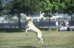 Dog catching Frisbee mid-air in Canine Frisbee Contest, Westwood, Los Angeles, CA Stock Images