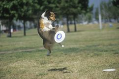 Dog catching Frisbee mid-air in Canine Frisbee Contest, Westwood, Los Angeles, CA Stock Image