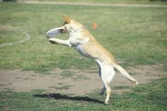 Dog catching Frisbee mid-air in Canine Frisbee Contest, Westwood, Los Angeles, CA Stock Photos