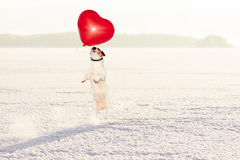Dog catching red heart shaped balloon as Valentines day gift. Holiday concept with dog on snow Royalty Free Stock Images