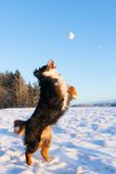 Dog catching snowball Royalty Free Stock Photography