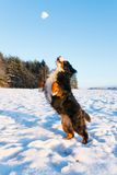 Dog catching snowball Royalty Free Stock Photo