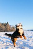 Dog catching snowball Stock Image