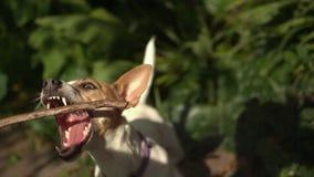 Dog catching stick stock footage