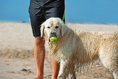 Dog catching the tennis ball in the beach waiting next to the legs of its master.  royalty free stock images