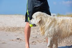 Dog catching the tennis ball in the beach waiting next to the legs of its master.  stock photos