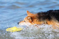 Dog catching toy in the water Stock Photo
