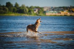 Dog catching water splashes Stock Images