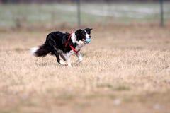 Dog cathes a ball. Dog catches a ball and run Stock Photos