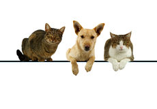 Dog and cats over a blank banner. Dog flanked by two cats lying on top of a blank banner for your text with their paws dangling and alert expressions as they Royalty Free Stock Image