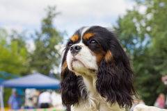 Dog Cavalier King Charles Spaniel royalty free stock photos