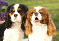 Dog Cavalier king charles spaniel Royalty Free Stock Photo