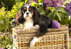Dog Cavalier king charles spaniel Stock Photos