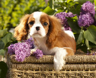 Dog Cavalier king charles spaniel Royalty Free Stock Image