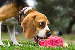 Dog celebrates birthday with themed cake in the park stock photo