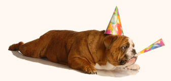 Dog celebrating birthday Royalty Free Stock Images