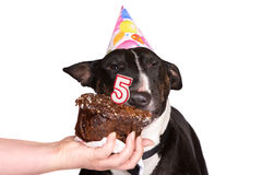 Dog celebrating birthday Royalty Free Stock Photo