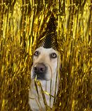 Dog celebrating a birthday or new year party. Funny labrador with a golden polka dot hat between glitter. serpentine streamers stock photography