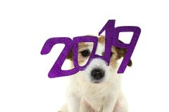 DOG CELEBRATING NEW YEAR 2019. WEARING PURPLE GLASSES SIGN COSTUME. LOOKING AT CAMERA. ISOLATED SHOT AGAINST WHITE BACKGROUND stock images