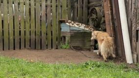 Dog on a chain around the booth. At the backyard of a countryside household stock video footage