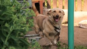 Dog on a chain around the booth. At the backyard of a countryside household stock footage