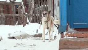A dog on a chain barks.  stock video footage