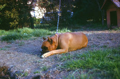 Dog on a chain Royalty Free Stock Images