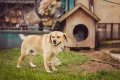 Dog on chain. Dog on chain, doghouse, rural environment royalty free stock photography