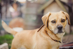 Dog on chain. Dog on chain, doghouse, rural environment Royalty Free Stock Image
