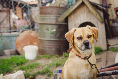 Dog on chain. Dog on chain, doghouse, rural environment Stock Image