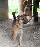 Dog on chain. Dogs on a chain near the kennel looks stock photography