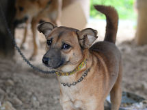 Dog on chain. Dogs on a chain near the kennel looks stock photos