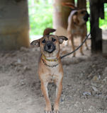 Dog chain. Dogs on a chain near the kennel looks stock image