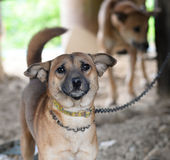 Dog chain. Dogs on a chain near the kennel looks royalty free stock image