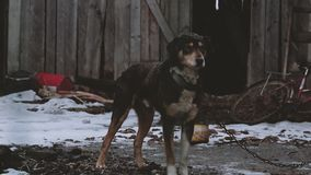 Dog on the chain in winter. Dog on the chain guards the farm stock video footage