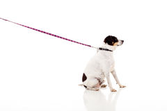 Dog with chain Royalty Free Stock Photography