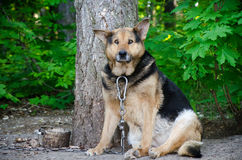Dog chain jail animal autumn summer sadly pets Stock Images