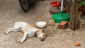 Dog on chain with lock, prevention from stealing for consumption Royalty Free Stock Photos