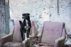 Dog on a chain on an old armchair Stock Image