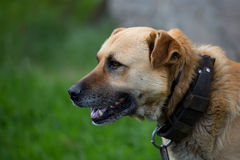 Dog on a chain, a portrait Royalty Free Stock Photography