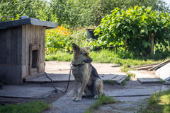 Dog on a chain. The  protects the house. Royalty Free Stock Image