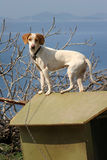 Dog on chain on the roof of doghouse. White dog with brown ears on the green doghouse Royalty Free Stock Photos