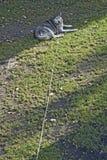 Dog on chain. Sad husky dog on chain Stock Photo