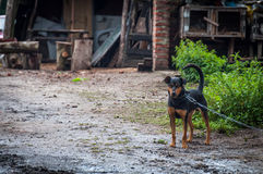 Dog on a chain in the village guarding the homestead.  stock photo