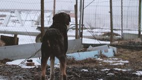 Dog on the chain in winter. Dog on the chain guards the farm stock video