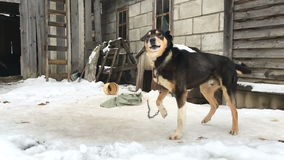 Dog on a chain at winter. Video full hd stock footage