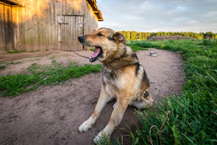 Dog on the chain yawns. Home guard dog is yawning. Royalty Free Stock Images